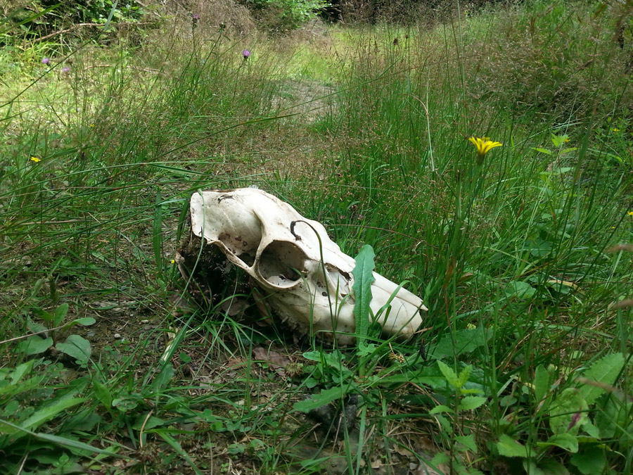 "Photo: ""A skull on a forest path"""